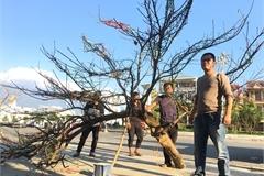 Lên Lai Châu săn đào, bán liền tay lãi ngay trăm triệu