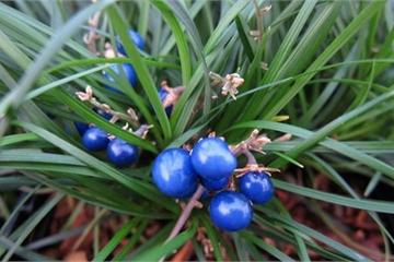Điều đặc biệt về cây mạch môn cho hoa quả tuyệt đẹp ở Việt Nam