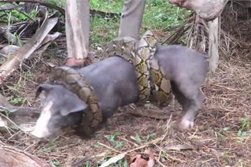 Màn giải cứu con lợn bị trăn tấn công đầy kịch tính