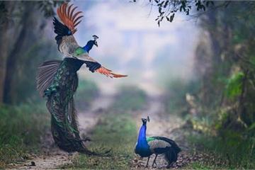 Ảnh động vật: Chim công quyết chiến tranh giành lãnh địa