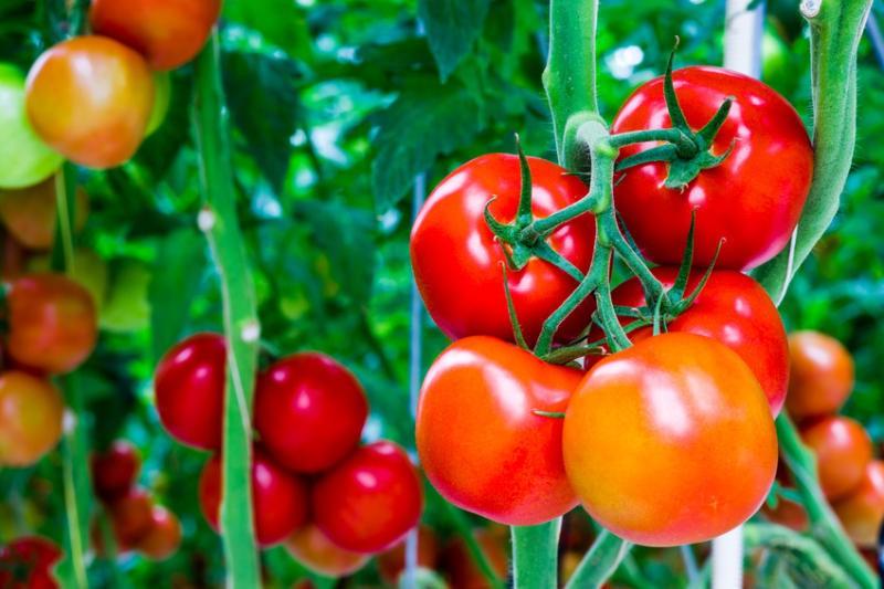 """Bí quyết """"5 giây"""" phát hiện cà chua tẩm hóa chất, chớ dại mà mua loại này - VietNamNet"""