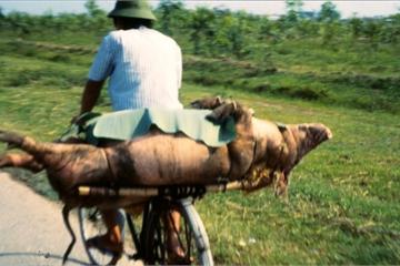 Tròn mắt cảnh chở lợn bằng xe đạp ở Việt Nam thập niên 1990