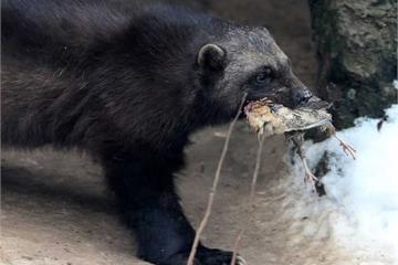 Kỳ lạ cách tấn công của những loài động vật hôi nhất thế giới