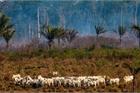 Trả giá quá đắt vì phá rừng để nuôi bò bán cho Trung Quốc