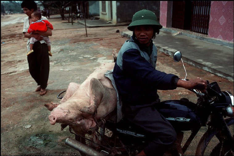 Tron mat canh cho lon bang xe dap o Viet Nam thap nien 1990-Hinh-7