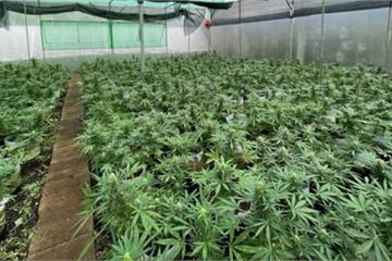 Từ Tiền Giang lên Đắk Lắk lập trang trại để trồng…cần sa