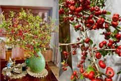 Cơn sốt cắm cherry rừng rẻ mà đẹp, 150.000 đồng được 5 cành lá và quả sai trĩu