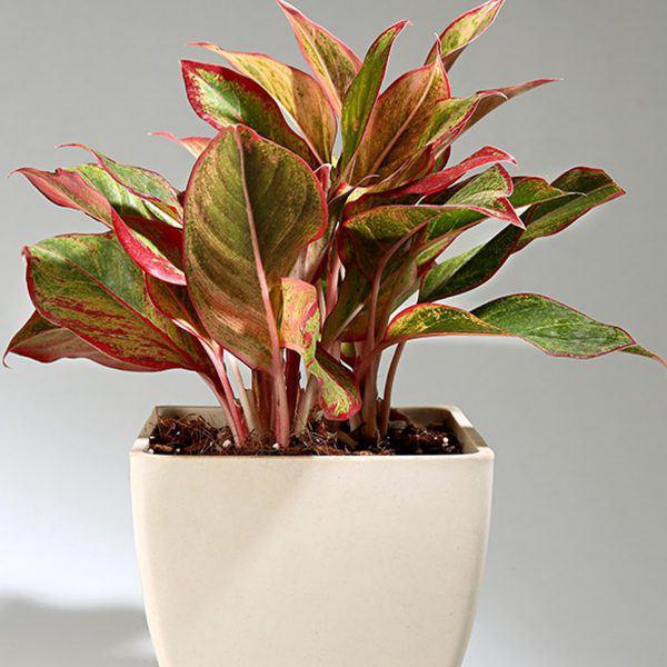 Mệnh Hỏa nên trồng 6 loại cây này để vượng vận, phát tài - 1