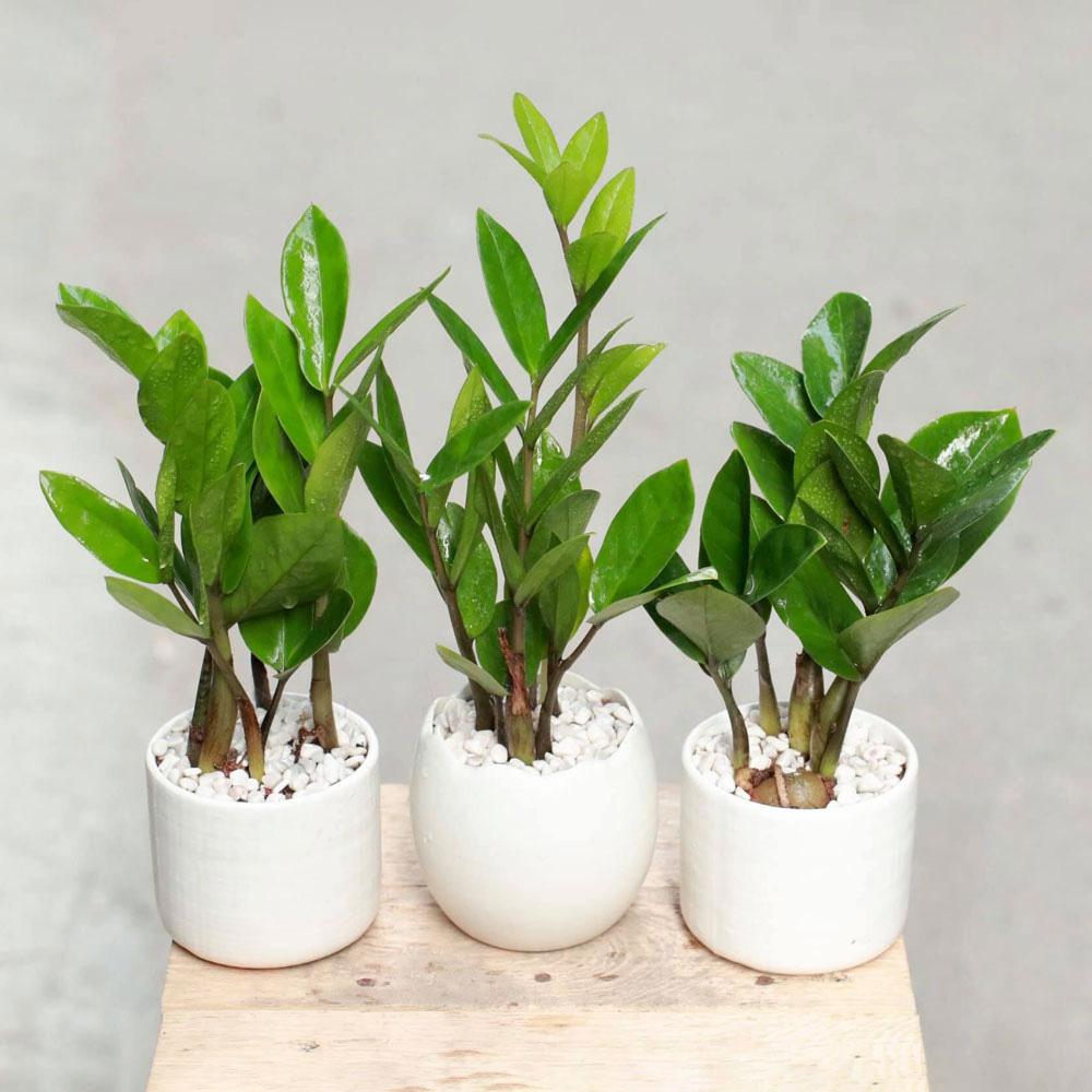 Top 4 cây phong thủy xanh tốt, dễ đón tài lộc, mang bình an cho cả gia đình