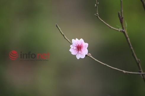 Hà Nội: Đào, hoa ra phố ngày Rằm tháng Chạp - ảnh 4