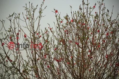 Hà Nội: Đào, hoa ra phố ngày Rằm tháng Chạp - ảnh 1