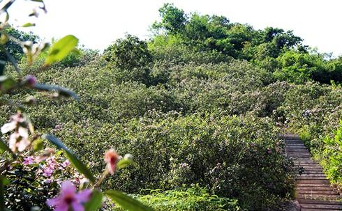 Đảo Soi Sim mùa hoa tím - ảnh 2