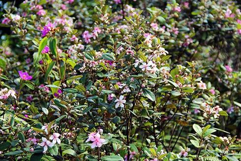 Đảo Soi Sim mùa hoa tím - ảnh 4