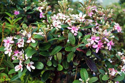 Đảo Soi Sim mùa hoa tím - ảnh 5