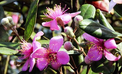 Đảo Soi Sim mùa hoa tím - ảnh 7