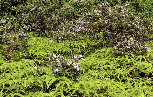 Đảo Soi Sim mùa hoa tím - ảnh 10