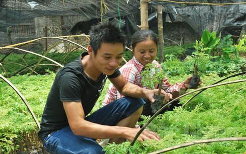 Bắc Giang: Giá cây đinh lăng tăng cao, vì sao? - ảnh 1