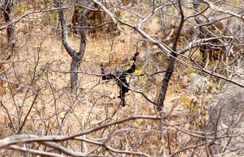 Đười ươi xuất hiện ở khu vực tháp Chăm Po Dam - ảnh 3