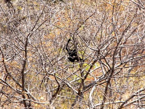 Đười ươi xuất hiện ở khu vực tháp Chăm Po Dam - ảnh 4