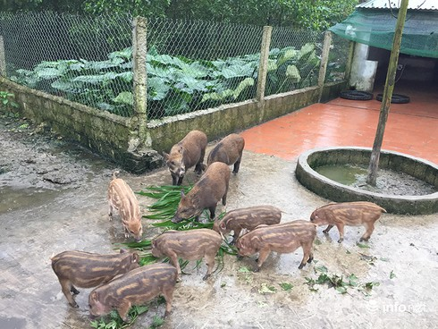 Hà Tĩnh: Từ bỏ lương nghìn đô, thạc sĩ về quê chăn lợn kiếm tiền tỉ mỗi năm - ảnh 5