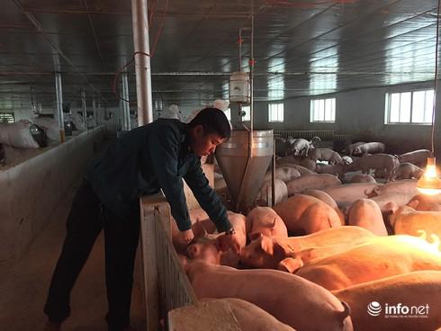 Hà Tĩnh: Từ bỏ lương nghìn đô, thạc sĩ về quê chăn lợn kiếm tiền tỉ mỗi năm - ảnh 2