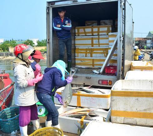 Quảng Trị: Ngư dân trúng đậm mẻ cá bè quỵt trên 100 tấn, giá 5 tỉ đồng - ảnh 2