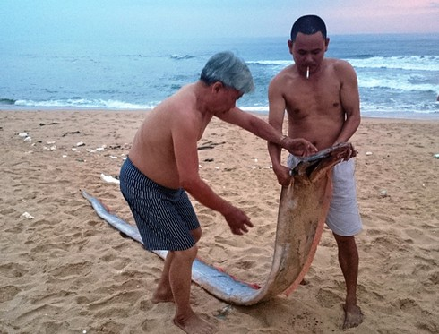 Cá mái chèo dài hơn 4m dạt vào bờ biển - ảnh 1
