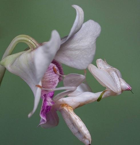 Bọ ngựa phong lan ngụy trang đẹp tuyệt