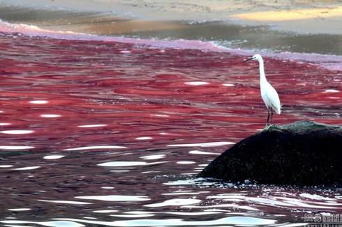 Thủy triều đỏ là gì, đã từng có ở Việt Nam chưa? - ảnh 2