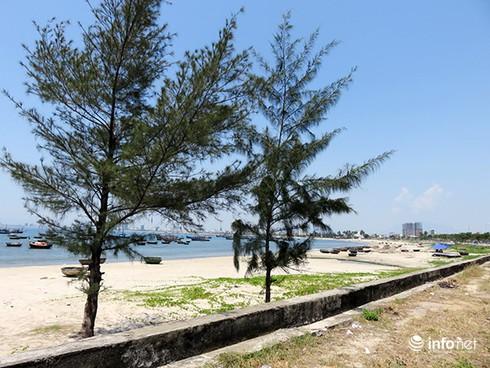 Hoài niệm buồn về những rừng dương đã mất ở ven biển Đà Nẵng - ảnh 3