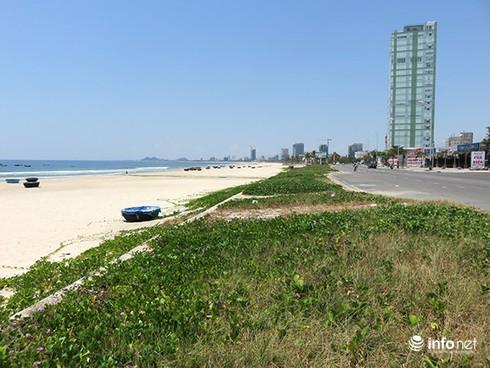 Hoài niệm buồn về những rừng dương đã mất ở ven biển Đà Nẵng - ảnh 4