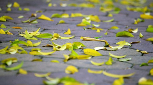 Hà Nội bắt đầu mùa lá rụng