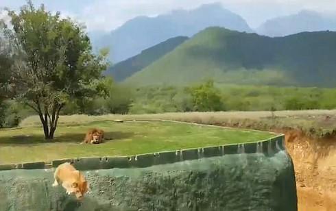 Xem video sư tử nhảy qua hào sâu định tấn công du khách - ảnh 1