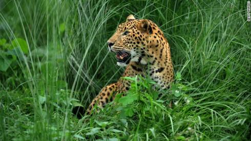 Nepal truy tìm con báo đốm ăn thịt 15 người - ảnh 1