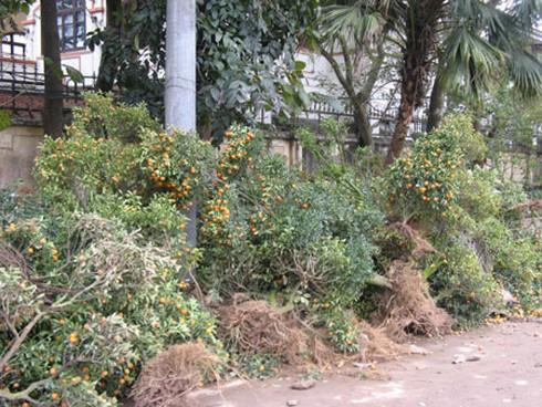 Nông dân nhộn nhịp trồng lại đào, quất - ảnh 1