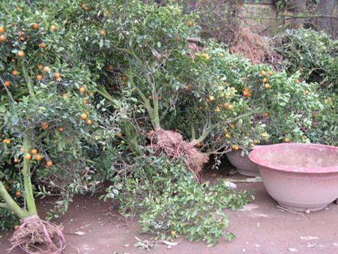 Nông dân nhộn nhịp trồng lại đào, quất - ảnh 3