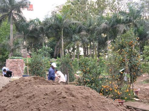 Nông dân nhộn nhịp trồng lại đào, quất - ảnh 7