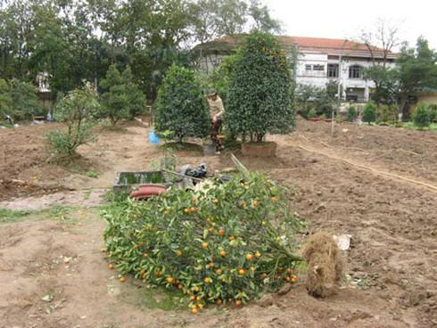 Nông dân nhộn nhịp trồng lại đào, quất - ảnh 8