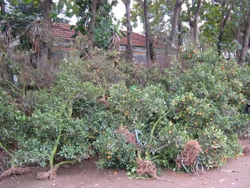 Nông dân nhộn nhịp trồng lại đào, quất - ảnh 2