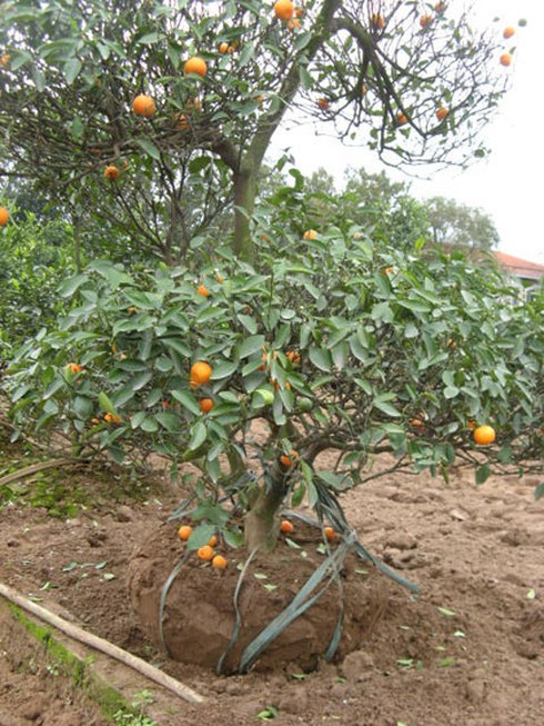 Nông dân nhộn nhịp trồng lại đào, quất - ảnh 9