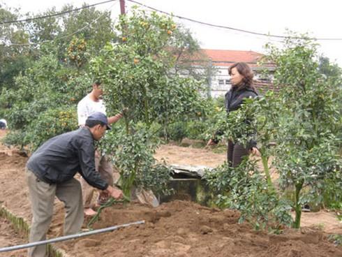 Nông dân nhộn nhịp trồng lại đào, quất - ảnh 5