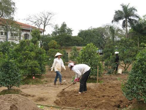 Nông dân nhộn nhịp trồng lại đào, quất - ảnh 6