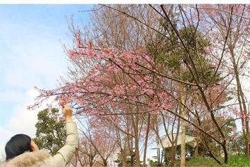 """Mê mẩn với hoa anh đào khoe sắc rực rỡ trên """"cao nguyên trắng"""""""