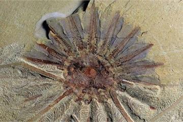 Phát hiện hóa thạch 520 triệu tuổi của quái vật biển 18 xúc tu