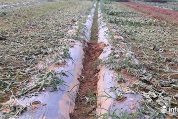 Nghệ An: Sắp đến ngày thu hoạch, ruộng dưa hấu bất ngờ bị kẻ gian phá tan tành