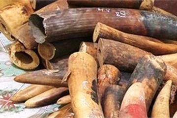Nghệ An: Điều tra lái xe tải chở gần 230kg ngà voi đi tiêu thụ