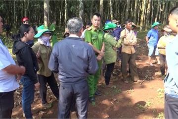 Đắk Lắk: Xác minh tin báo người dân ngang nhiên chặt phá vườn cao su của công ty