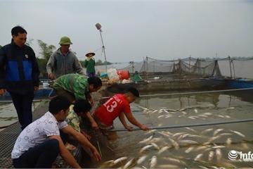 Hơn trăm tấn cá lồng chết, nổi trắng sông Thái Bình, nghi do nguồn nước ô nhiễm