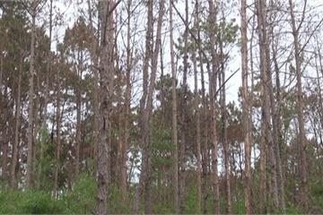 Khởi tố vụ án hủy hoại hàng chục hecta rừng thông ở Lâm Đồng