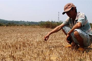 """Bình Định: Đồng ruộng bỏ hoang, lúa """"tắc"""" đòng vì khô hạn"""